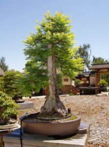 Tree # 101, Bill Sullivan's redwood,  sponsored by the Redwood Empire  Bonsai Society (REBS)