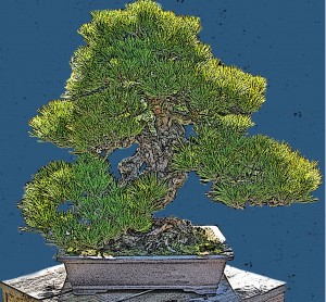Our 400-year old Japanese Black Pine made its U.S. debut  at the Pan-Pacific Exposition in San Francisco 1915
