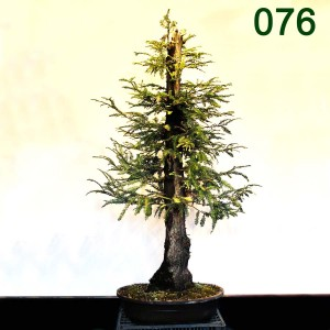 "Item 76 REDWOOD; Plant Ht. 50""; Pot Brown Mica Oval; 20"" x 15"" x 5.5""; Style: Informal; Owner: BGLM 7"