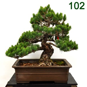 Item 102White Pine; Plant Ht. 22; 20x15x6 Brown Rectangle; Style: Informal ; Owner: Gianelli1